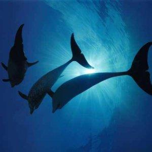 003 Дельфины Постер